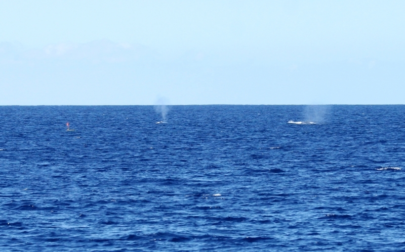 Wave Glider and Humpback Whales